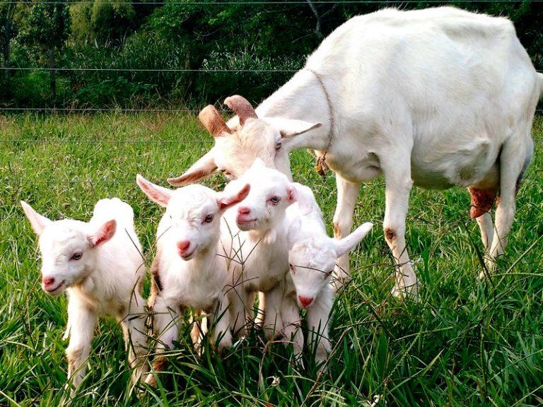 Productos orgánicos CABRITA - 09 y sus crías