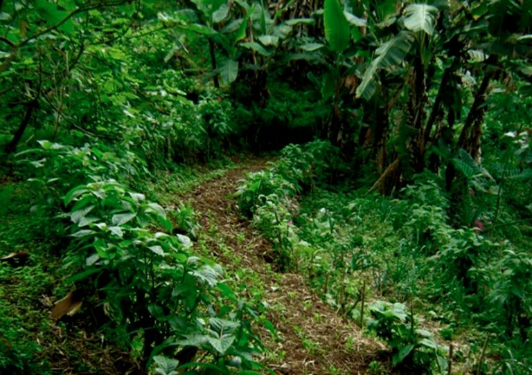 Terrazas sostenidas con seto vivo de nacedero con cultivo de rúcula.