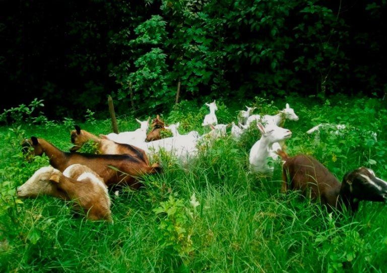 Finca Cabrita, cabras ramoneando en potrero silvopastoril