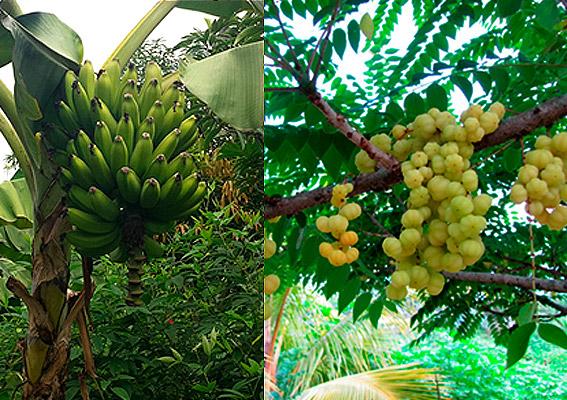 Bananos y árbol de grosella finca Herencia