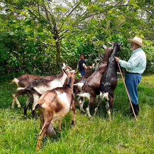 Finca Herencia Jose Maria Borrero cabras ramoneando