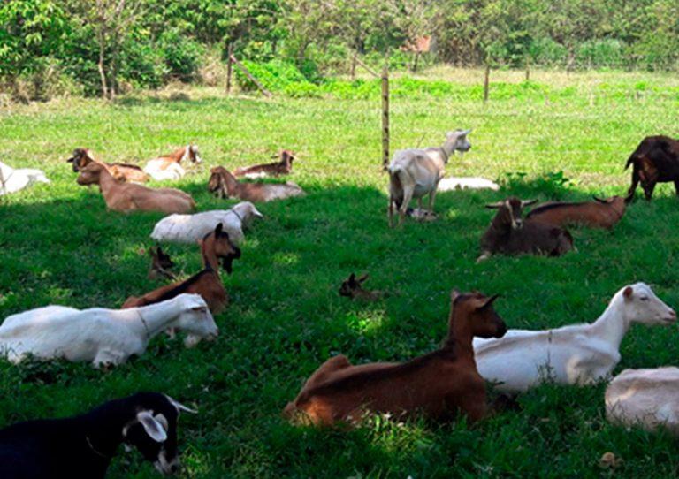 Finca Herencia José María Borrero, cabras rumiando