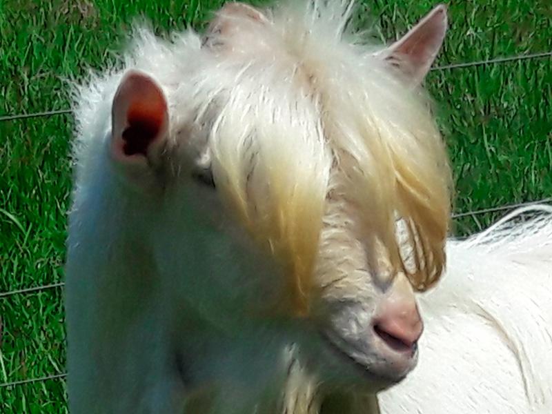venta-de-cabras-1