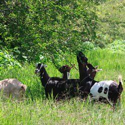 finca-herencia-jose-maria-borrero-cabras-ramoneando